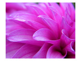 Devine Dahlia Photographic Print by Karen Ussery