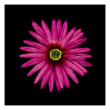 Pink Daisy Photographic Print by  JoSon