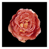 Rose Photographic Print by  JoSon