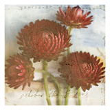 Red Strawflower 2 Photographic Print by Thea Schrack