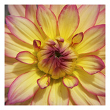 Yellow Dahlia Photographic Print by Karen Ussery