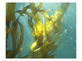 Sea Kelp 4 Photographic Print by Karen Ussery
