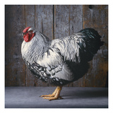 Silver Laced Wyandotte Print by Tamara Staples