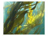 Sea Kelp 5 Photographic Print by Karen Ussery