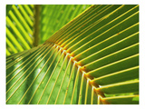 Palm Frond Photographic Print by Karen Ussery