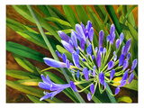 Agapanthus Giclee Print by Terri Hill