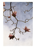 Tulip Magnolia 2 Photographic Print by Thea Schrack