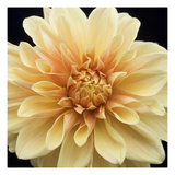 Peach Dahlia Two Photographic Print by Karen Ussery