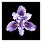 Bearded Iris Giclee Print by  JoSon