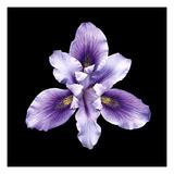 Iris germanica Stampa giclée di  JoSon