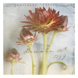 Red Strawflower 3 Photographic Print by Thea Schrack