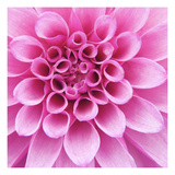 Dahlia Delight Photographic Print by Karen Ussery