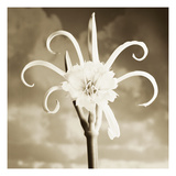 Fancy Lily Photographic Print by TM Photography