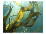 Sea Kelp 2 Photographic Print by Karen Ussery