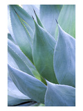 Agave I Photographic Print by Thea Schrack