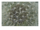 Dandelion Puff Photographic Print by Karen Ussery