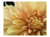Peach Dahlia One Photographic Print by Karen Ussery