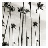 Coconut Palms II 'Cocos nucifera', Kaunakakai, Molokai Photographic Print by  JoSon