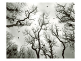 Crow Rookery Photographic Print by Jamie Cook