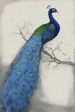 Peacock Blue I Poster von Tim O'toole