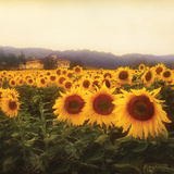 Tuscan Sunflowers Posters by Amy Melious