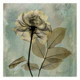 Rose Posters by Albert Koetsier