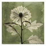 Chrysanthemum Art by Albert Koetsier