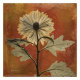 Chrysanthemum Prints by Albert Koetsier