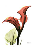 Calla Lily Red Prints by Albert Koetsier