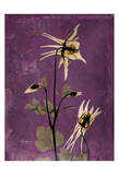 Columbine Prints by Albert Koetsier