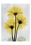 Golden Gerbera Prints by Albert Koetsier