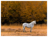 White Horse Giclee Print by Colby Chester