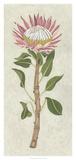 Protea I Giclee Print by Chariklia Zarris