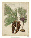 Antique Conifers II Giclee Print by Henry Fletcher