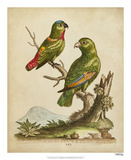 Edwards Parrots VI Reproduction procédé giclée par George Edwards