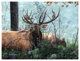 Elk Foraging Giclee Print by Kevin Daniel
