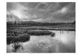 Spruce Bog Print by Steve Silverman