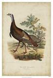 Wild Turkey Giclee Print by Charles L. Bonapart