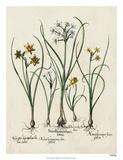 Besler Narcissus II Giclee Print by Basilus Besler