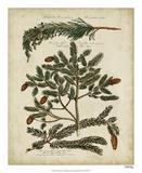 Antique Conifers IV Giclée-tryk af Henry Fletcher