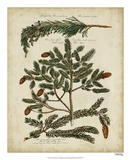 Antique Conifers IV Giclee Print by Henry Fletcher