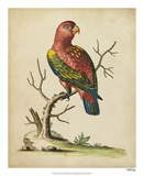 Edwards Parrots IV Reproduction procédé giclée par George Edwards