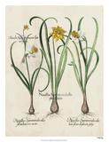 Besler Narcissus I Giclee Print by Basilus Besler
