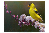 Goldfinch Flowers Posters by Chris Vest