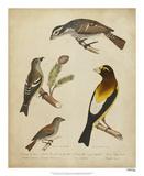 Bonapart Birds IV Giclee Print by Charles L. Bonapart
