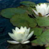 Water Lilies I Prints by Jennifer Broussard