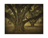 Brother Oaks, Hwy. 308 Giclee Print by William Guion