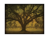 Manresa Oak Study Giclee Print by William Guion