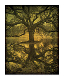 Audubon Oak Reflection Giclee Print by William Guion