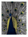 Print Mafia - Peacock Plakát
